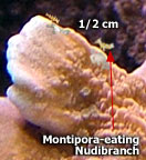 Montipora-eating Nudibranch can reach up to 1/2 cm