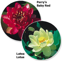 Perry's Baby Red & Lutea Lotus