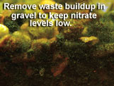 Remove waste buildup in gravel to keep nitrate levels low.