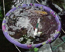 Plastic child's pool used for quarantining pond fish