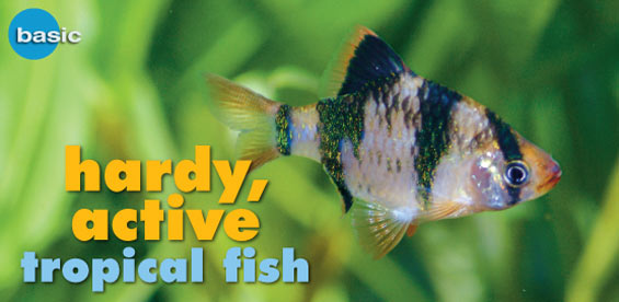 Freshwater tropical fish species profile tiger barb for Best freshwater aquarium fish combination