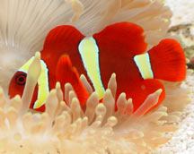 Yellowstripe Maroon Clownfish in Anemone