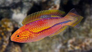 Reef-Safe Wrasses