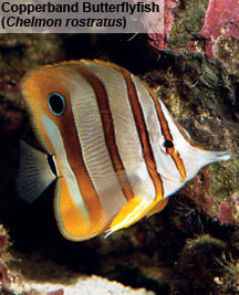 Aiptasia Control Options: Copperband Butterflyfish (Chelmon rostratus)