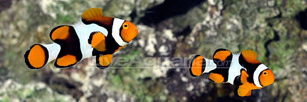 Onyx True Percula Clownfish (Amphiprion percula)
