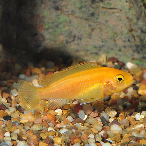 Cichlid Fish | Tropical Fish For Freshwater Aquariums Red Zebra Cichlid Malawian