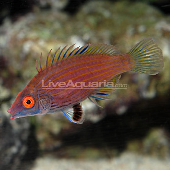 Pink streaked wrasse for Too cool fishing