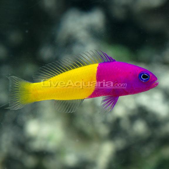 سودوکرومیس بایکالر ( bicolor pseudochromis )