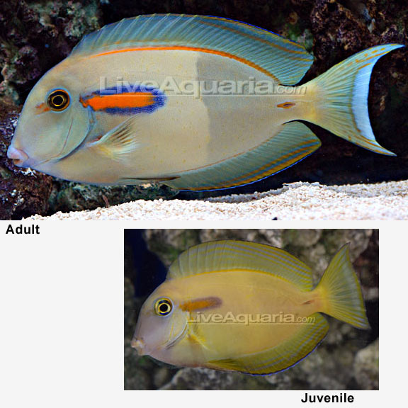Orangeshoulder tang for Dream about fish