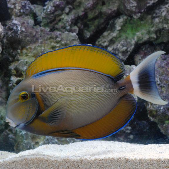Black spot tang for Tang saltwater fish
