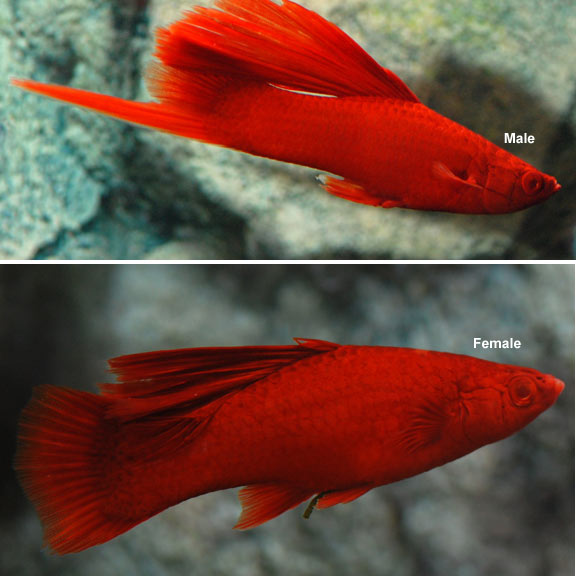 Hi fin lyretail swordtail blood red Freshwater fish with red fins