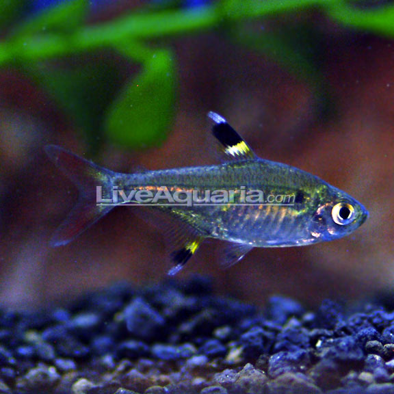 X ray pristella tetra for Large peaceful community fish