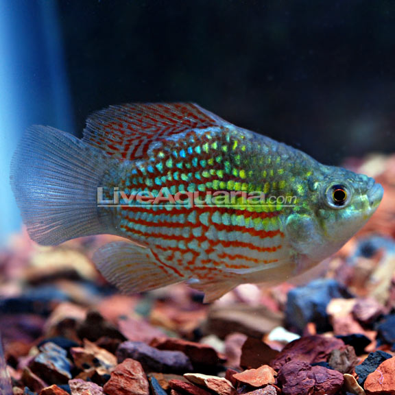 Go Back > Gallery For > Cool Freshwater Pet Fish
