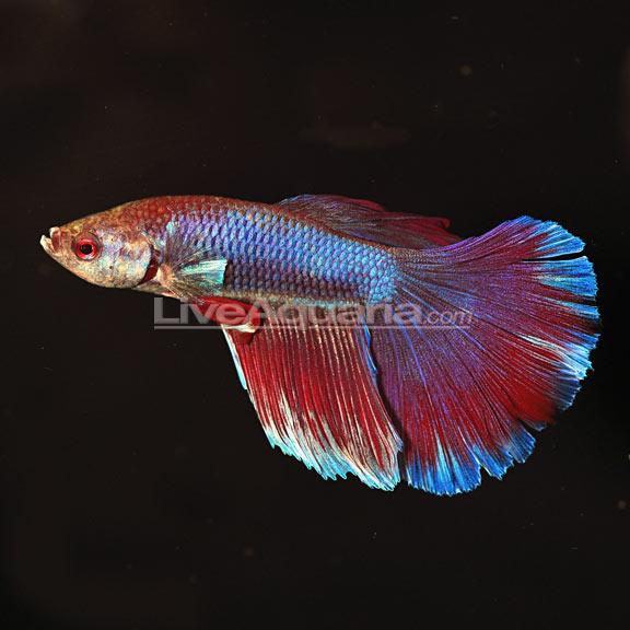 Delta Tail Betta Fish Butterfly Betta, Super...