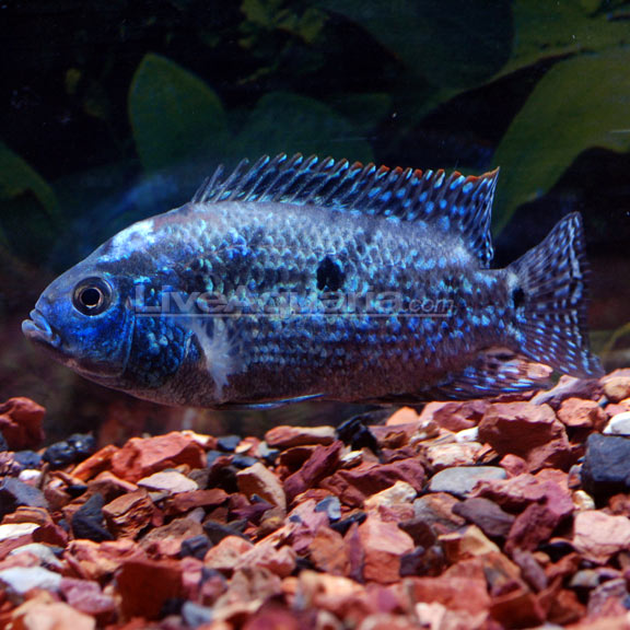 Electric blue jack dempsey for Big freshwater aquarium fish
