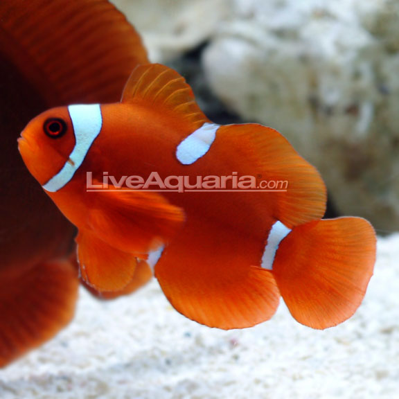 Info on flame hawkfish and clown fish tropical fish for Clown fish care