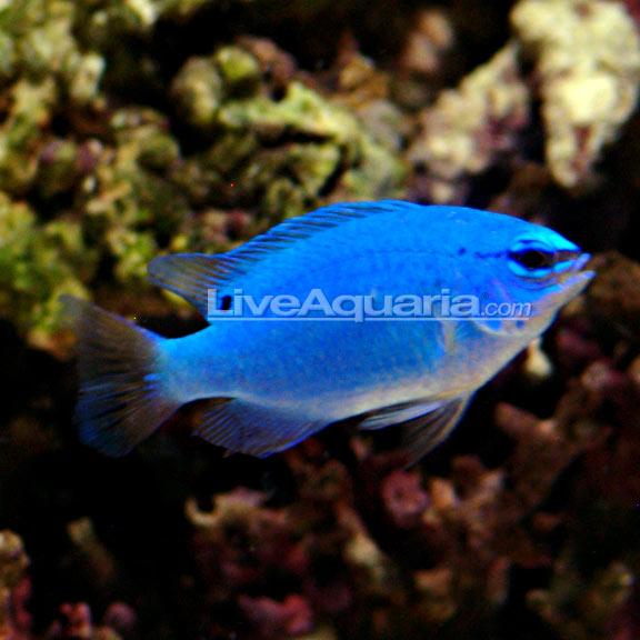Blue damselfish for Pink saltwater fish