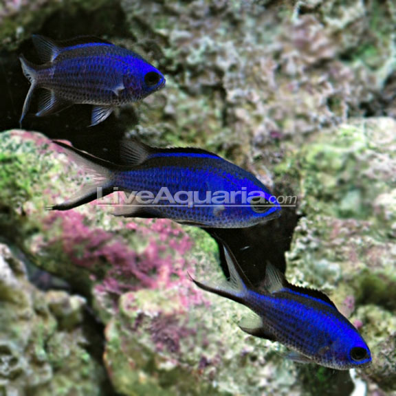 Blue reef chromis for Blue saltwater fish