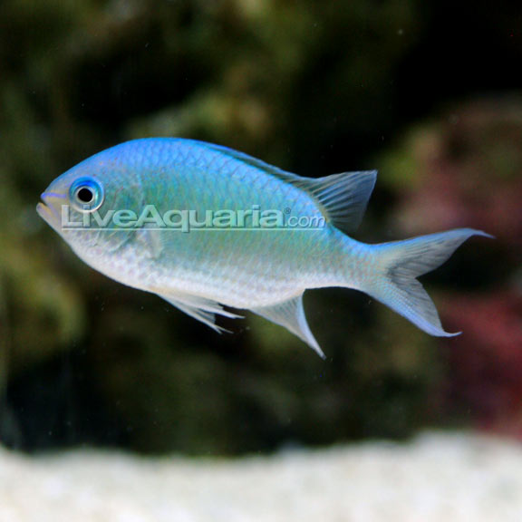 Difference between chromis reef central online community for Large peaceful community fish