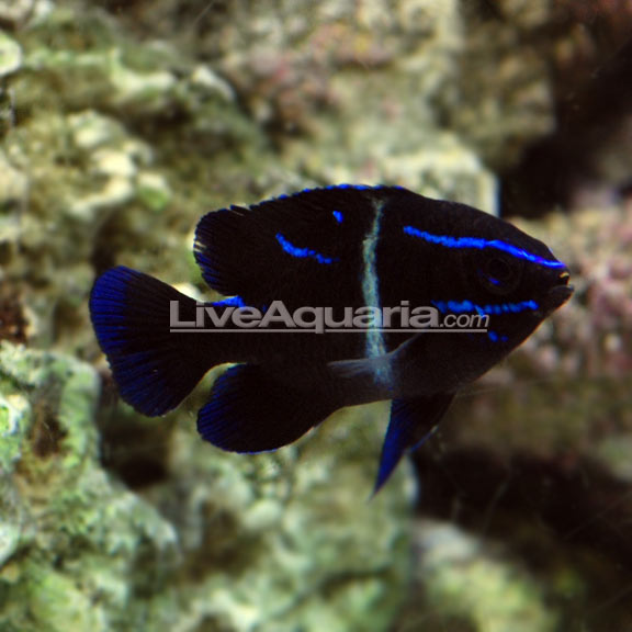 Sw Blue Velvet Damselfish Indonesia