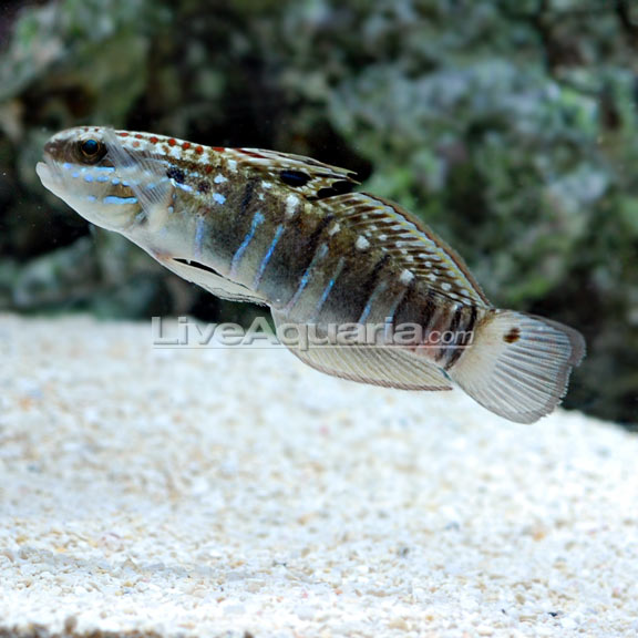 Sleeper banded goby for Dragon fish goby
