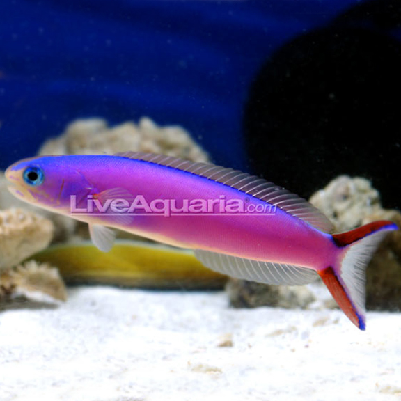 Wife wants a pink or purple fish reef central online for Purple saltwater fish