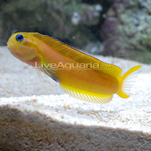 Midas blenny for Yellow fish tank water