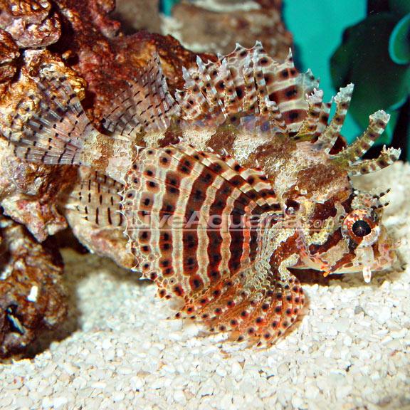 Northwoods Tri Color Acropora Coral Aquacultured Acropora Coral Reef Tank Coral