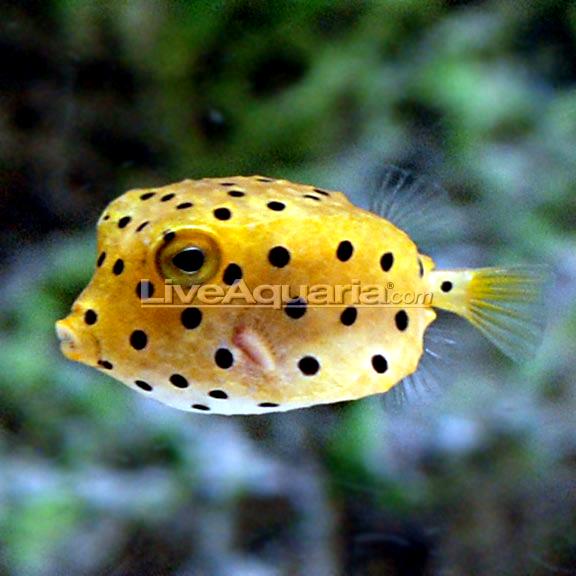 Cubicus Boxfish Care Baby Yellow Boxfish