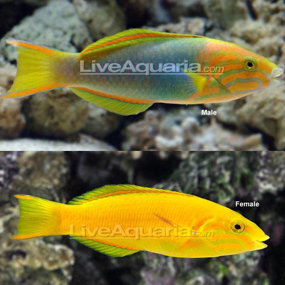 Banana wrasse for Yellow fish tank water