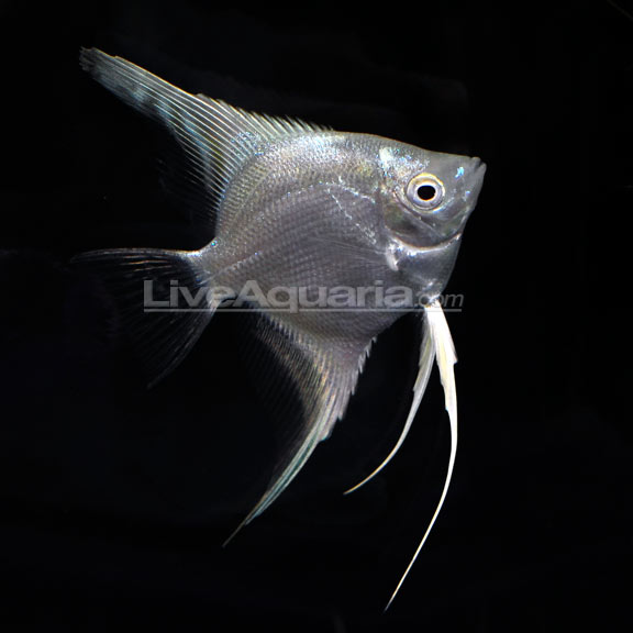 Platinum angelfish for Fish compatible with angelfish