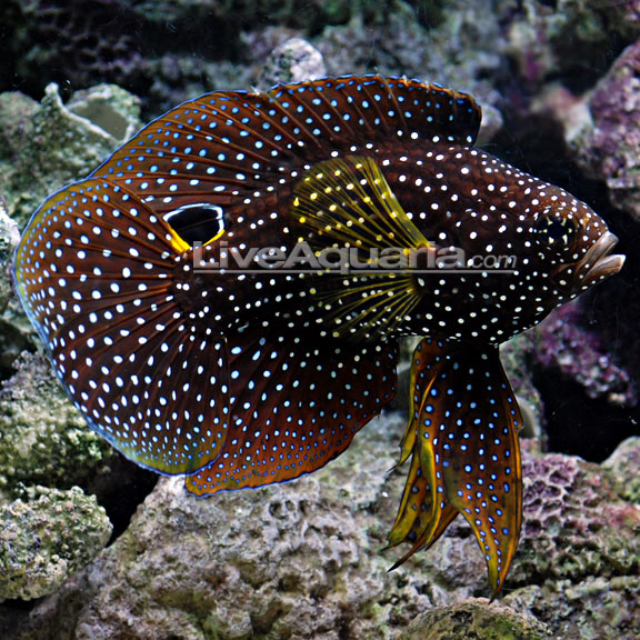 Marine betta reef central online community for Large peaceful community fish
