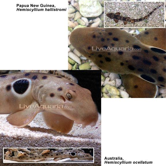 Epaulette shark for Small sharks for fish tanks