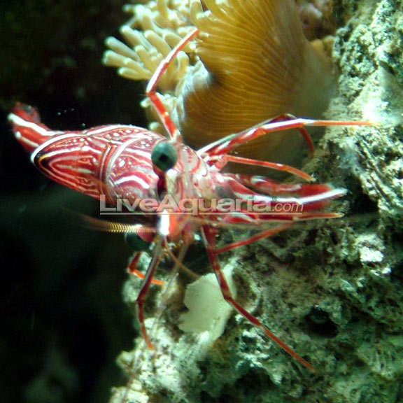 Reef Safe Shrimp R Aquarium Best Accent Chairs And