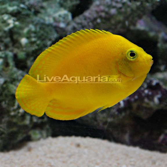 Yellow angelfish for Aggressive saltwater fish