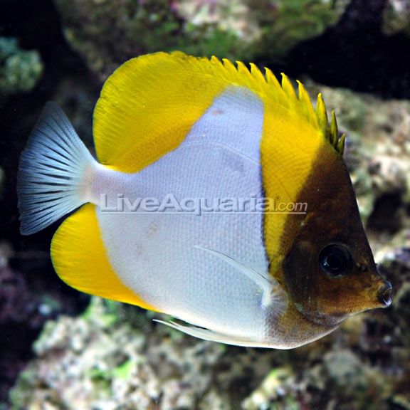 Yellow pyramid butterflyfish for Yellow saltwater fish