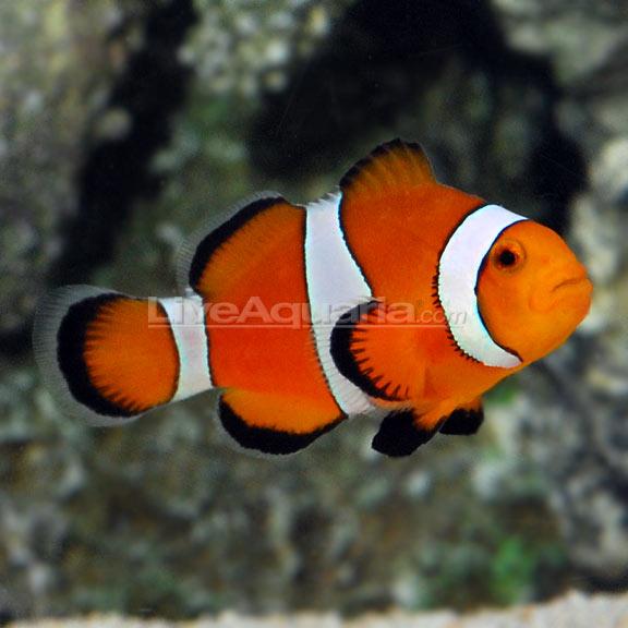 Ocellaris clownfish captive bred for Freshwater clown fish