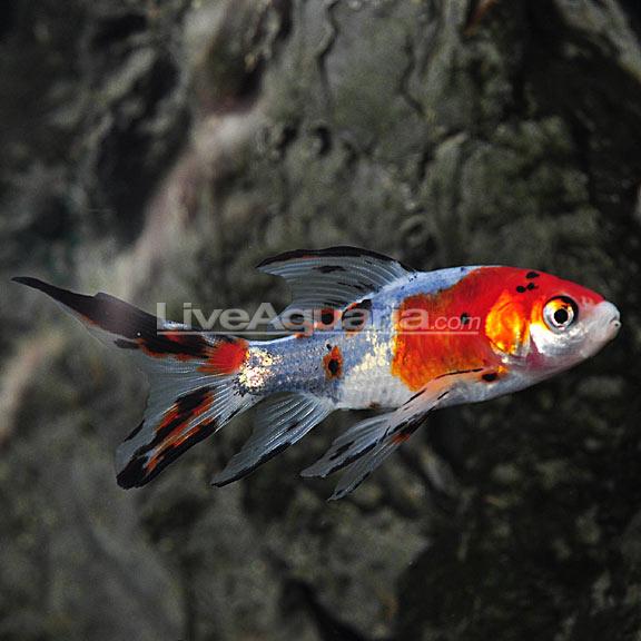 Shubunkin for Freshwater pond fish