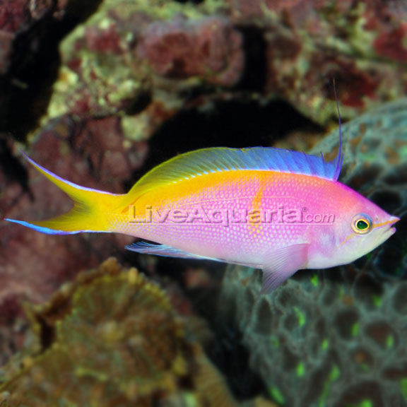 آنتیاس بارتلت (  bartletts anthias )