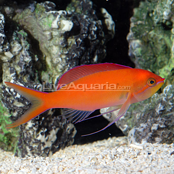 آنتیاس دیس پار ( dispar anthias )