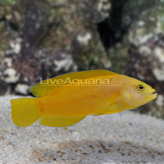 Yellow dottyback for Yellow saltwater fish