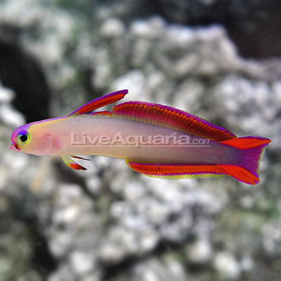 Firefish purple for Purple saltwater fish