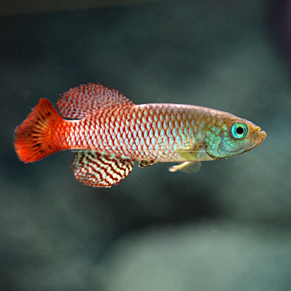Killifish freshwater fish