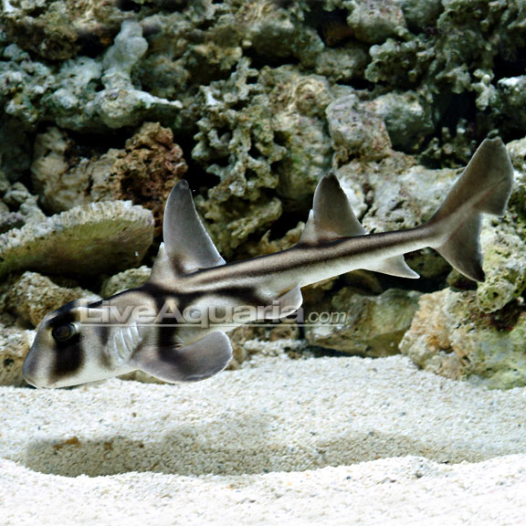 Port jackson shark do not activate to large Small sharks for fish tanks