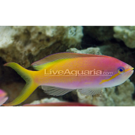 آنتیاس کاربری ( carberry anthias )