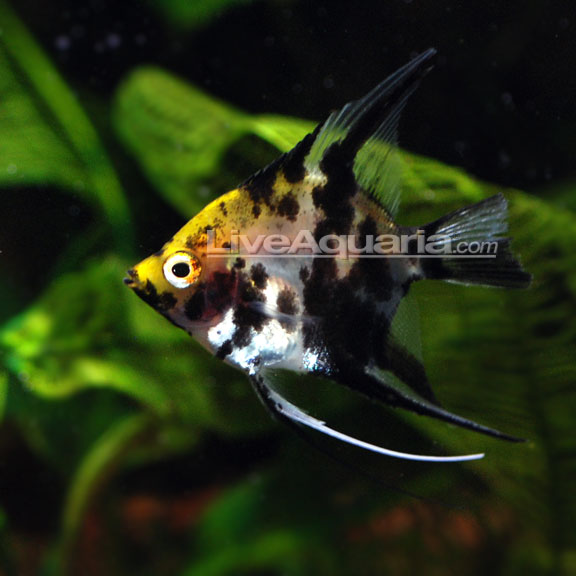 Koi angel for Aggressive fish for sale