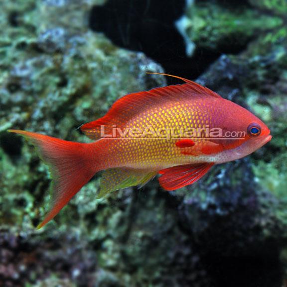 Fs Lyretail Anthias Orange Pair M F Reef Central Online Community