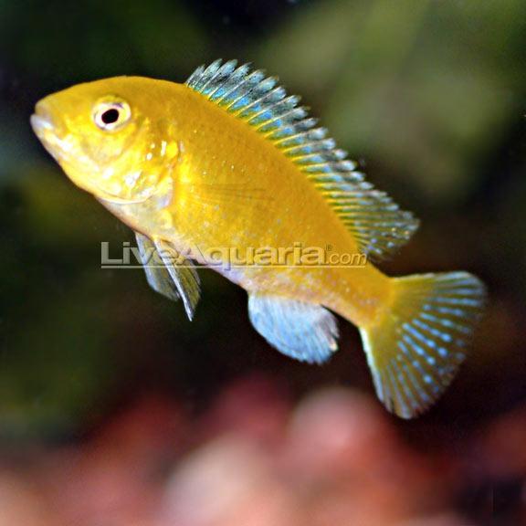 yellow cichlid fish - photo #45