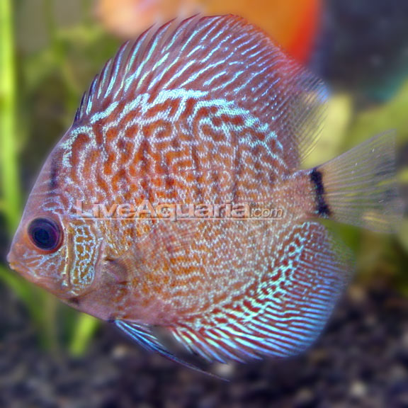 Snakeskin discus for Freshwater tropical fish online
