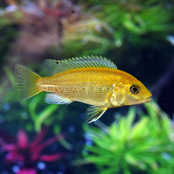 Electric yellow cichlid for Yellow tropical fish